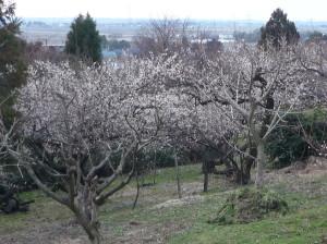 月岡梅林園