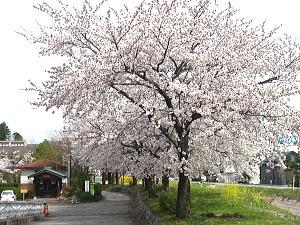 カリオンパークの桜